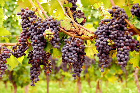 Bunches of red grapes growing on a vine