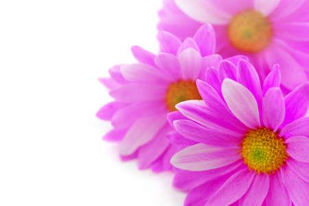 Photo pour Floral background of pink flowers close up on white - image libre de droit
