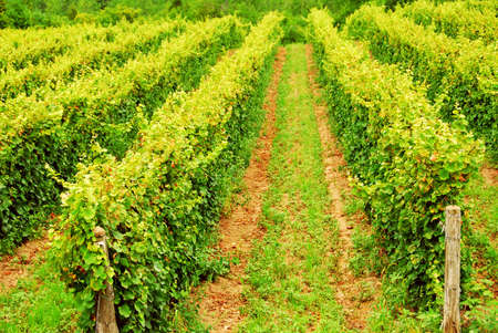 Rows of green vines growing in a field