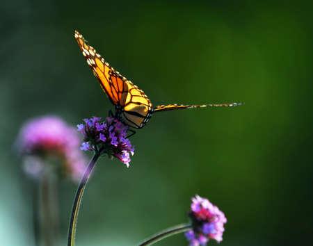 Photo pour Monarch butterfly sitting on a flower backlit by sunlight - image libre de droit