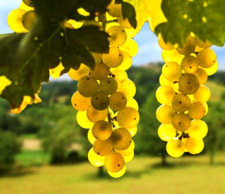 Foto für Yellow grapes growing on vine in bright sunshine - Lizenzfreies Bild