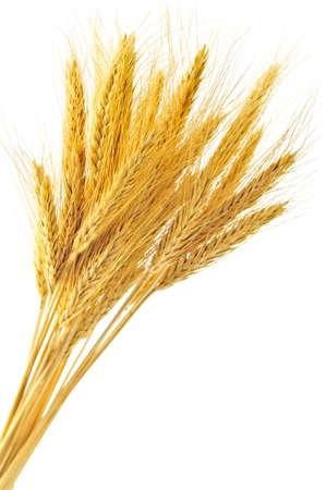 Stalks of golden wheat grain isolated on white background