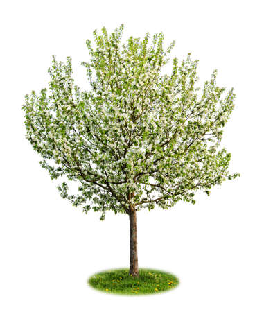 Single young flowering apple tree in spring isolated on white background