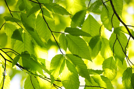 Green spring tree leaves in sunshine, natural background