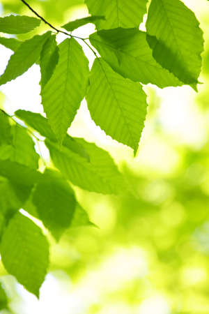 Green spring tree leaves  in clean environment, natural background