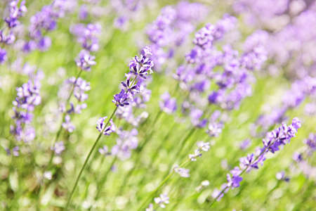 Botanical background of blooming purple lavender herb in a garden