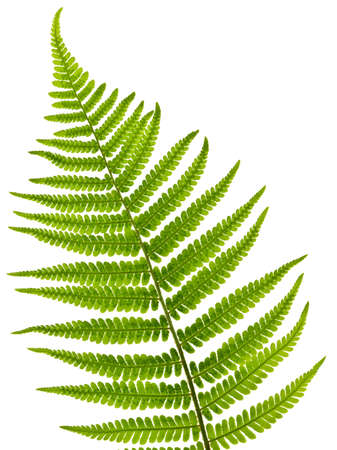 Green fern leaf isolated on white backgroundの写真素材