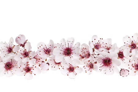 Border of beautiful cherry blossom flowers on white background