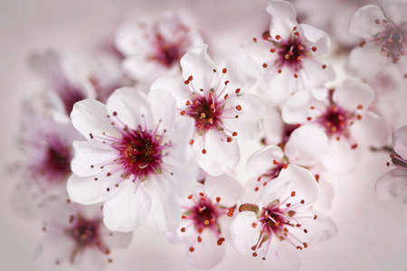 Cluster of beautiful pink cherry blossom flowersの写真素材