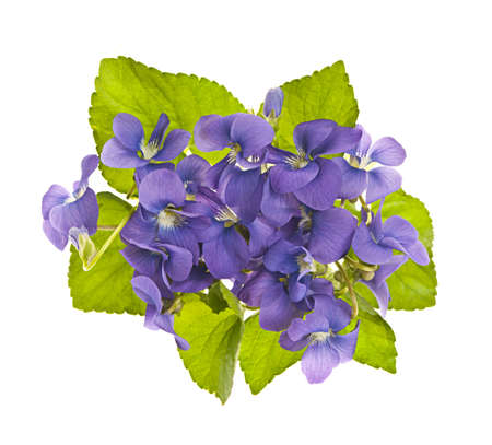 Arrangement of purple wild violets with leaves isolated on white