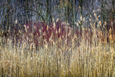 Winter reeds and forest at Scarborough Bluffs in Toronto, Canada