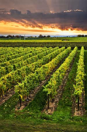 Vineyard at sunset in Niagar