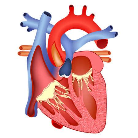 Ilustración de medical structure of the heart - Imagen libre de derechos