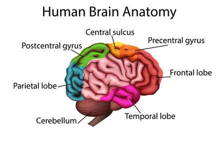 Illustration pour medically accurate illustration of the brain, anatomical structure 3D vector - image libre de droit