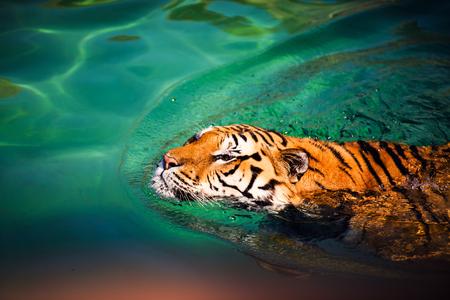 Photo pour swimming tiger - image libre de droit