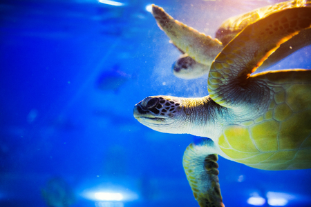 Photo for Sea turtle in blue water over coral reef - Royalty Free Image
