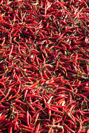 A lot of hot chili peppers drying in the sun in Myanmar filling the entire frame