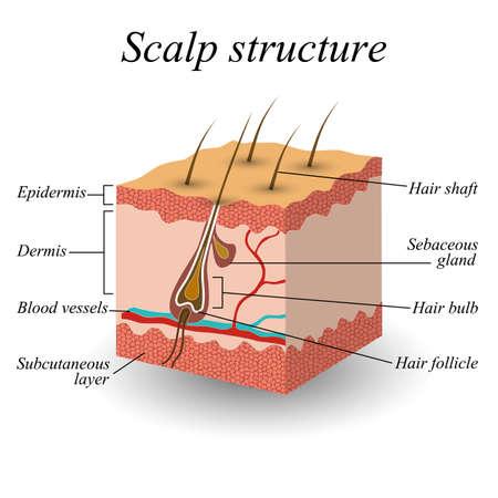 Illustration pour The structure of the hair scalp, anatomical training poster vector illustration. - image libre de droit
