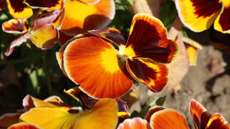 pansy is a amazing flower and its colour combination is great. Viola tricolor var. hortensis. Viola Wittrockianna (Pansy). Beautiful multi-colored flowers pansies.