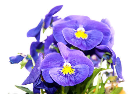 Pansy is a amazing flower and its colour combination is great. Viola tricolor var. hortensis. Viola Wittrockianna. Beautiful multi-colored flowers pansies isolated on white