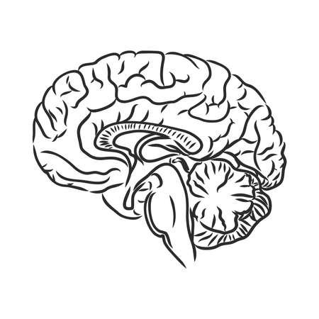 Illustration pour Brain of the person for medical design. Vector sketch. - image libre de droit