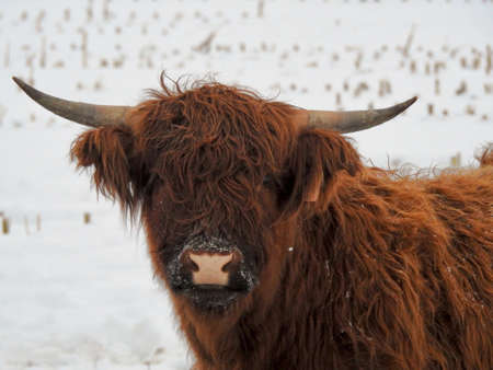 Portrait of a Highland Bull