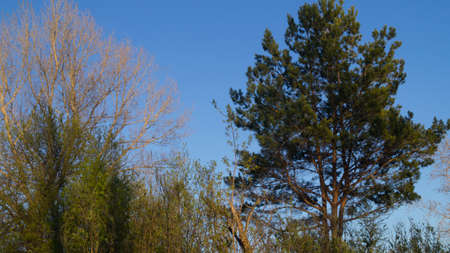 Background, silhouette of a branched coniferous tree against a blue sky in spring