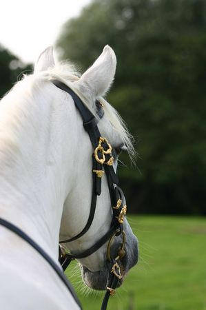A portrait of an grey spanish Andalusian horse looking away from the viewer