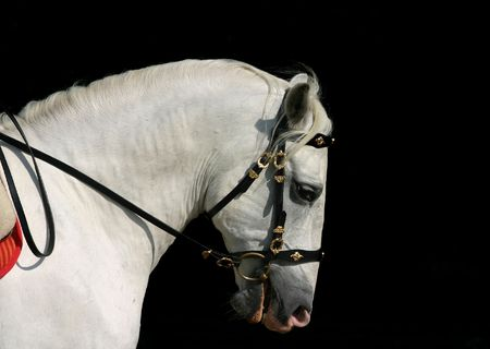 A portrait of an grey spanish Andalusian horse at work