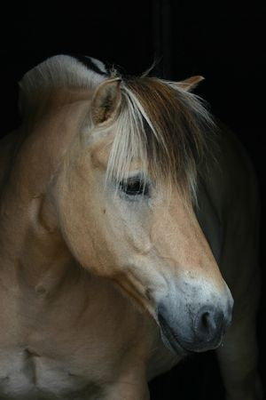 A Norwegian fjord horse on a pitch black background