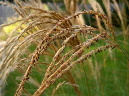 Photo pour Background with autumn dry decorative grass - image libre de droit