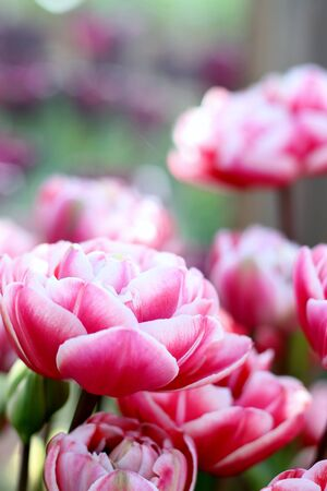 Beautiful double fox trot pink and tulips , shallow depth of field, spring time garden image