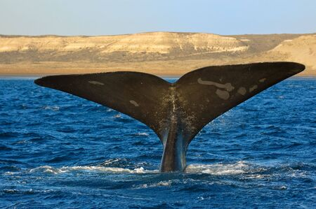 Right whale in Puerto Piramides, Peninsula Valdes, Patagonia, Argentina.