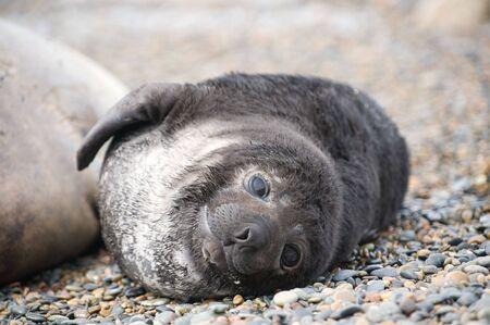 Cute baby elephant seal, Valdes Peninsula, Patagonia Argentina.