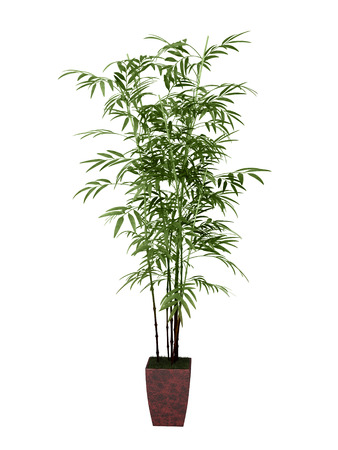bamboo tree in pot on white background,