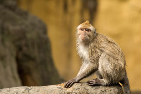 Formosan macaque was a kind of monkey only in Taiwan. His innocent eyes looked at the direction of unknow was portrayal of wildlife future.