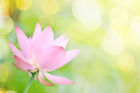 Lotus flower with beautiful sunlight and flare and bokeh.
