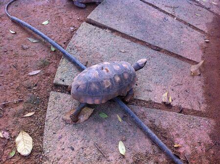 A slowly walking tortoise