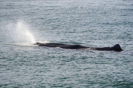 Photo pour Sperm Whale breathing in Kaikoura Coast, South Island, New Zealand - image libre de droit