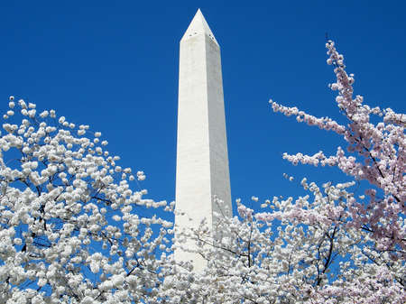 Cherry Blossoms and top of the Washington Monument in Washington DC, USA