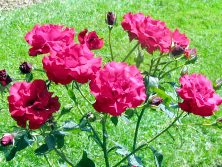Red Olympiad rosebush in garden in Toronto, Canada