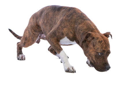 Photo for American staffordshire terrier on white background - Royalty Free Image