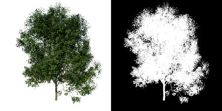 Photo for Front view of Tree (Adolescent Silver Linden 2) Plant png with alpha channel to cutout made with 3D render - Royalty Free Image