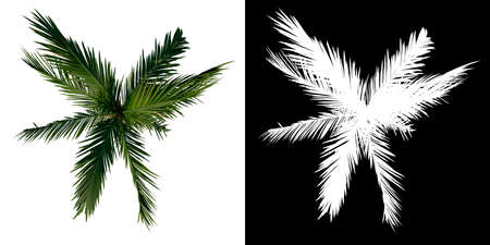 Photo for Top view tree (Young Coconut Tree Palm 3) white background alpha png 3D Rendering 3D Illustration - Royalty Free Image