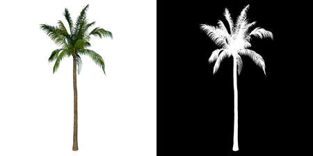 Photo for Front view tree (Coconut Tree Palm 1) white background alpha png 3D Rendering 3D Illustration - Royalty Free Image