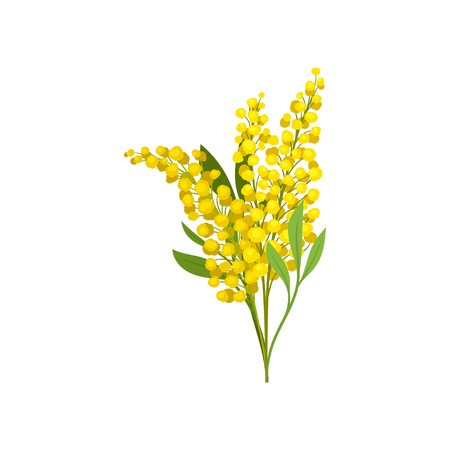 Ilustración de Bouquet of bright yellow mimosa. Beautiful fluffy flowers. Garden plant. Nature theme. Graphic design for botanical book or postcard. Detailed flat vector illustration isolated on white background. - Imagen libre de derechos