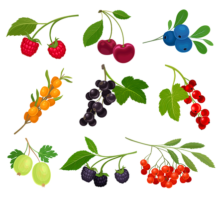 Illustration pour Collection of different varieties of berries on the stem with leaves. Vector illustration on white background. - image libre de droit