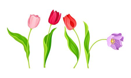 Illustration pour Cup-shaped Tulip Flowers with Bright Actinomorphic Buds on Green Stem with Cauline Leaves Vector Set - image libre de droit