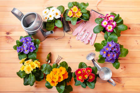 Photo for Frame made of colorful primula flowers, gardening tools, garden gloves and watering cans on wooden background. Top view, copy space. - Royalty Free Image