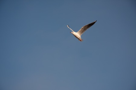 Isolated seagull flying in the air alone depicting freedom and isolation